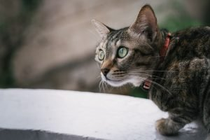 How To Check For Ear Mites In Cats