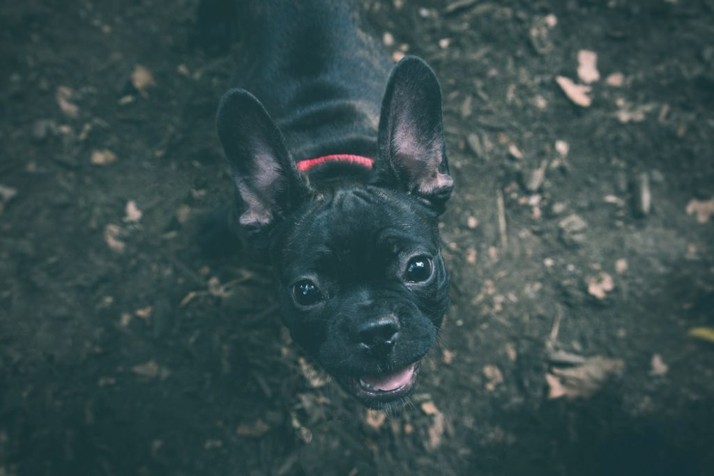 Best Slow Feed Dog Bowl For French Bulldog