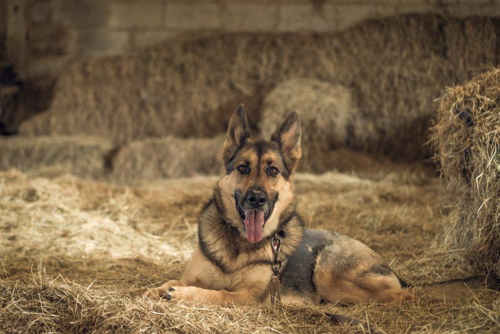 Best German Shepherd Toys for Boredom