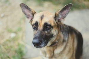 Best Chew Treats For German Shepherds
