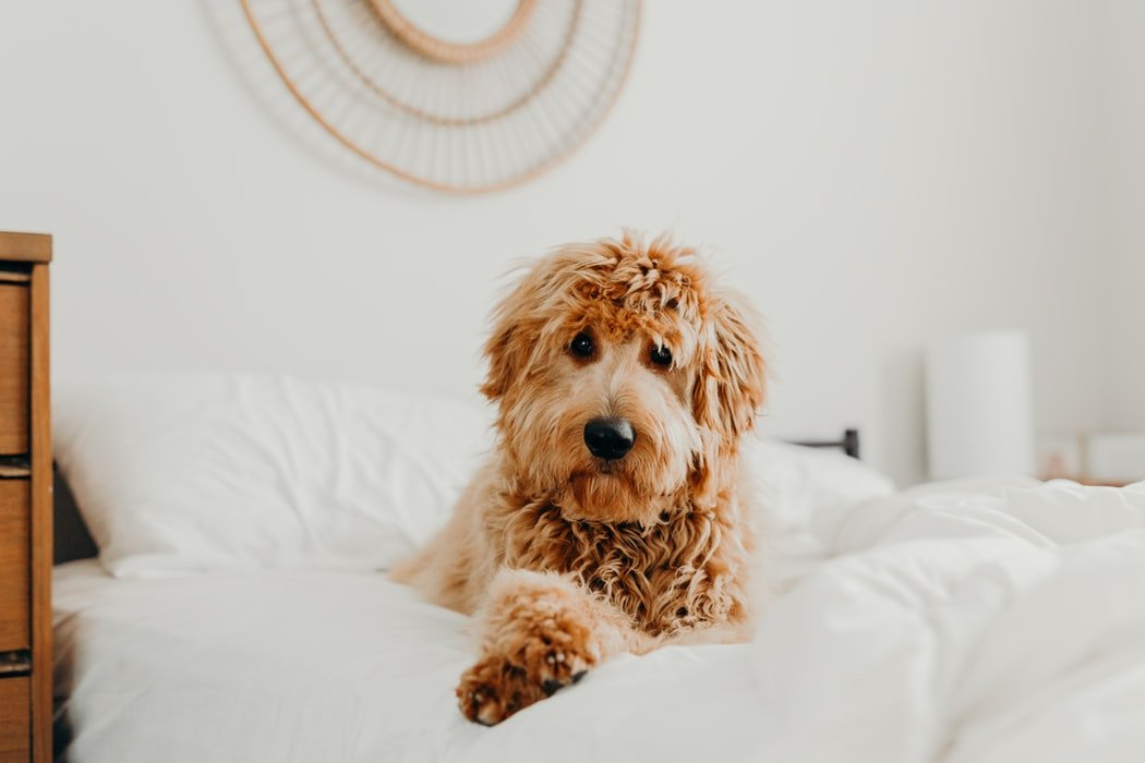 Preparing For A Goldendoodle
