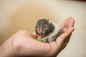 What Can Hamsters Chew For Their Teeth?