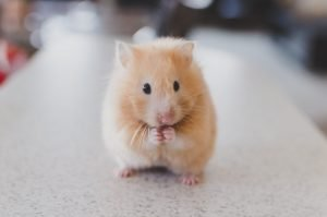 What Can I Use For Hamster Bedding