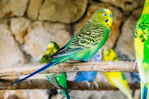 Do Parakeets Talk To Each Other?