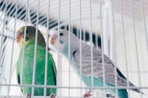 Difference Between Lovebirds and Parakeets