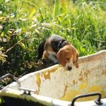 How To Stop A Beagle From Digging