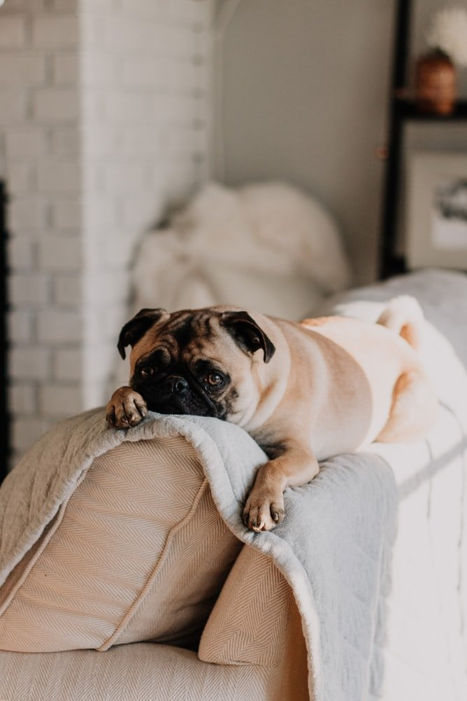 Do Flea Shampoos Work for Dogs?