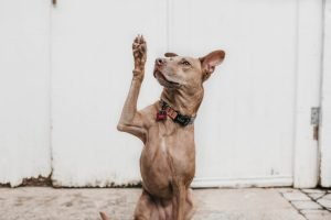 How To Stop a Dog From Licking His Paws Raw