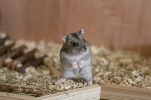 Why Do My Hamsters Keep Dying?