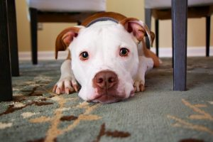 What Size Muzzle For Pitbull?