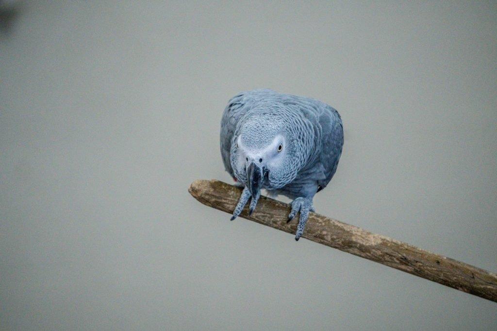 Best Air Purifier for African Grey Parrot