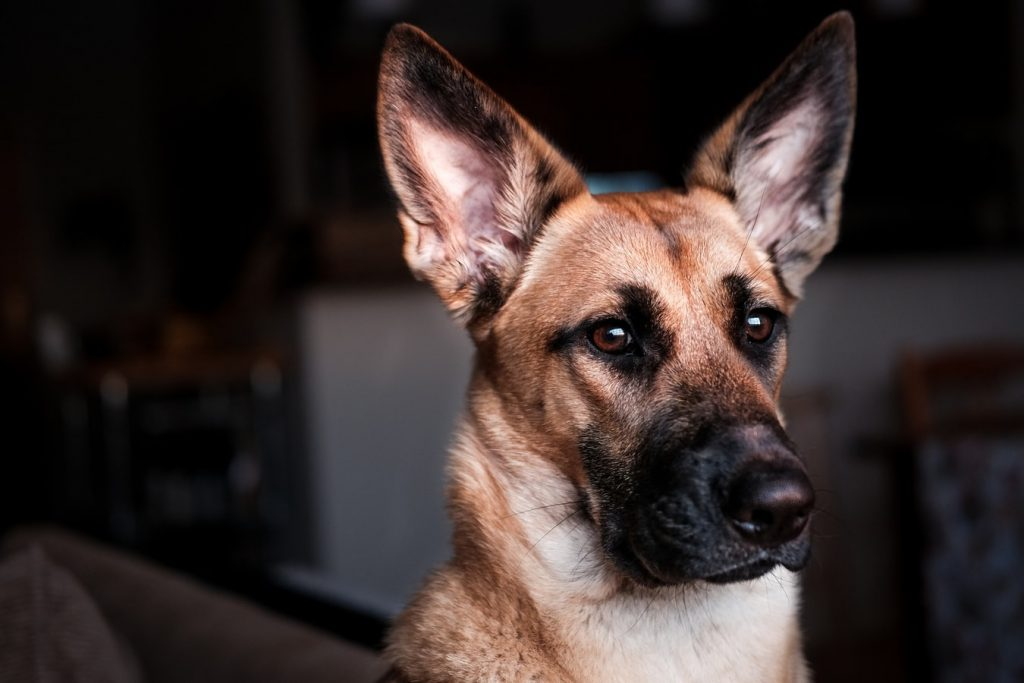 What To Do With German Shepherd While At Work