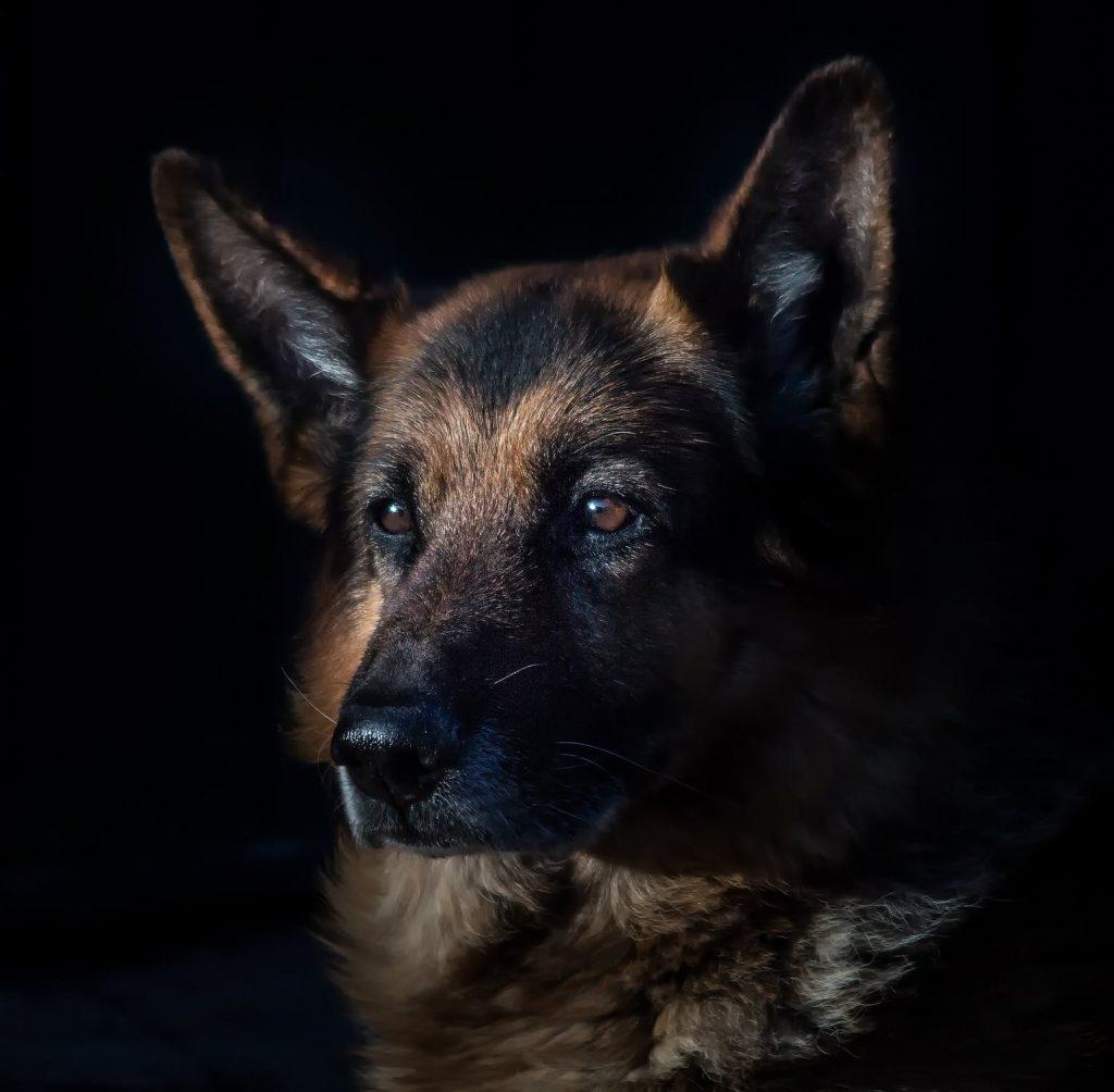 How To Improve German Shepherd Coat