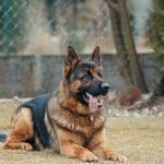 How To Improve German Shepherd Coat