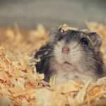 What To Do If Your Hamster Is Bleeding (And The Best Treatment!)