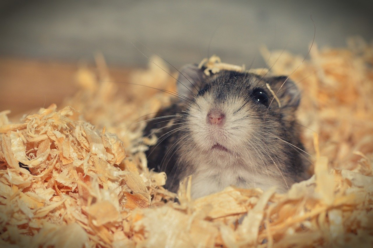 What To Do If Your Hamster Is Bleeding