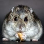 Why Is My Hamster Losing Weight? (And The Solution!)