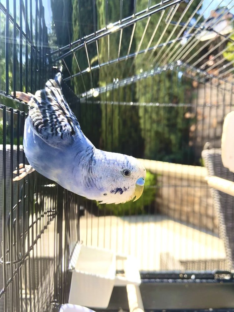 How To Clean A Budgie's Bum