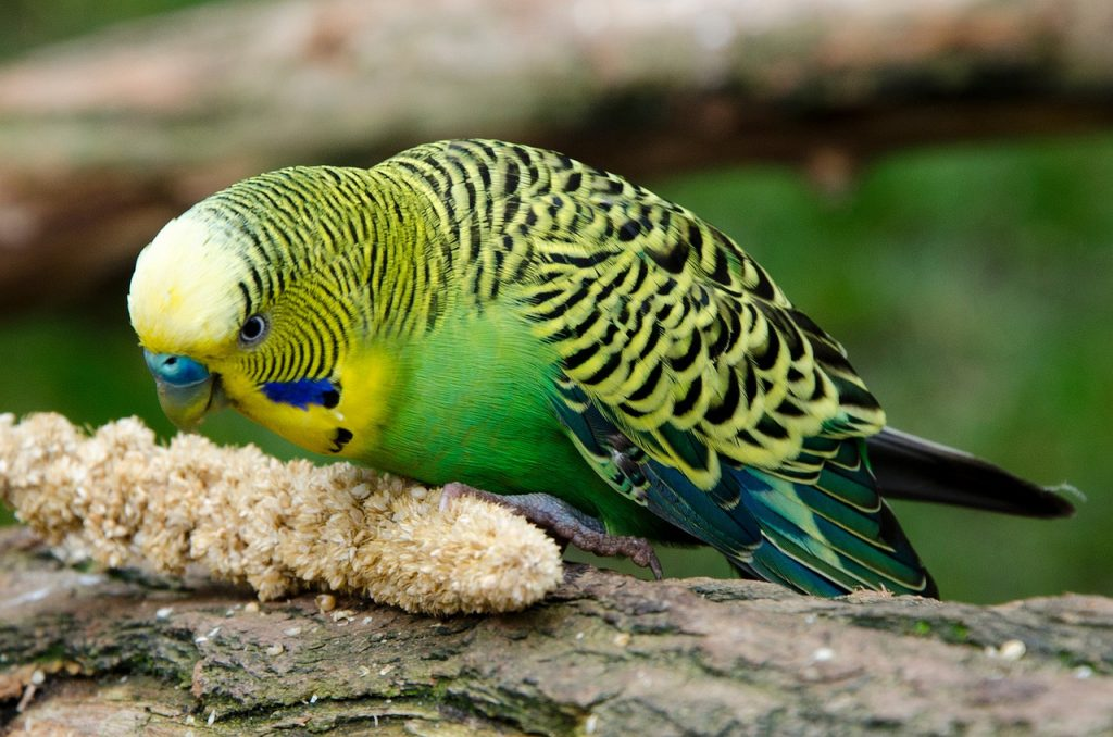 How To Get A Budgie To Talk