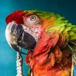 Why Does My Parrot Regurgitate On Me? (And The Best Way To Stop It!)