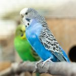 Guide On How To Clean A Budgie's Bum