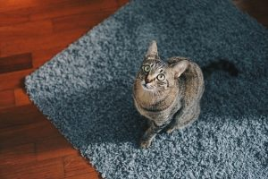 How To Get Rid Of Cat Dander In New House