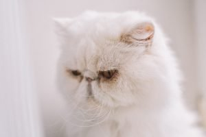 How To Get Rid Of Tapeworms In Cats At Home