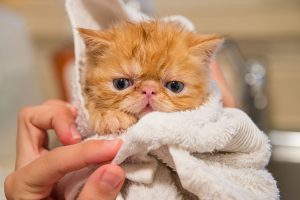 How To Get Coconut Oil Out Of Cat Fur
