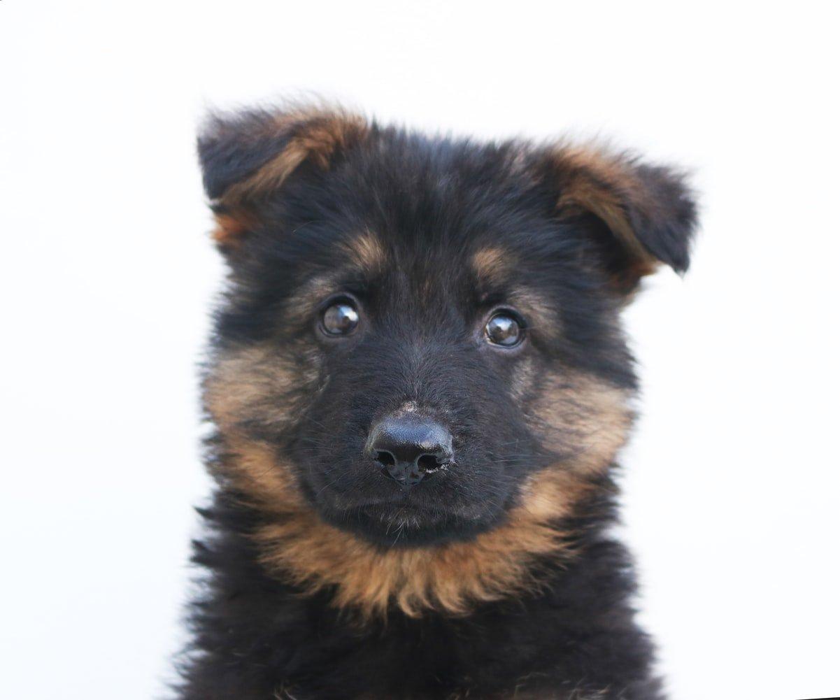How To Discipline A German Shepherd Puppy