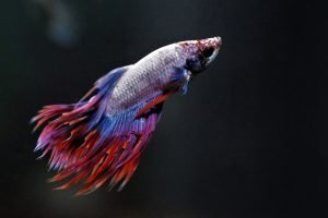 How To Make Your Betta Fish Like You