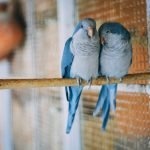 Will Budgies Breed Without A Nesting Box?