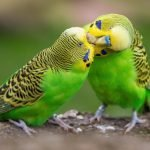 Why Is Female Budgie Bullying Male? (And How To Stop It!)