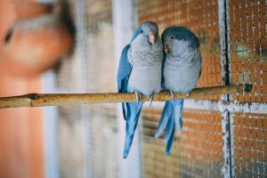 Will Budgies Breed Without A Nesting Box