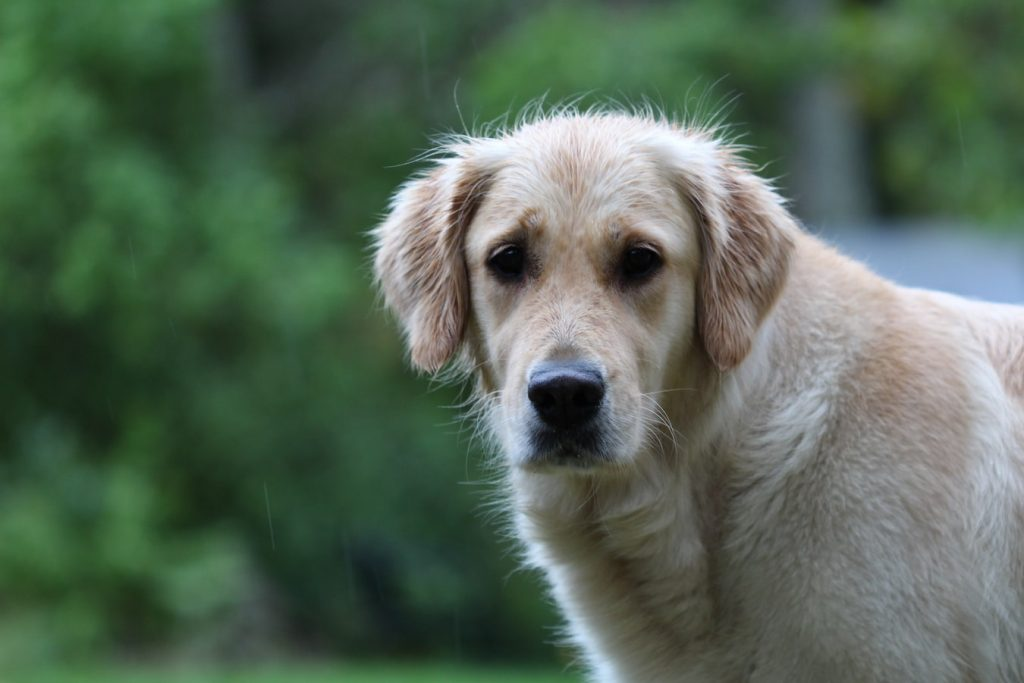 Golden Retriever Losing Hair In Clumps