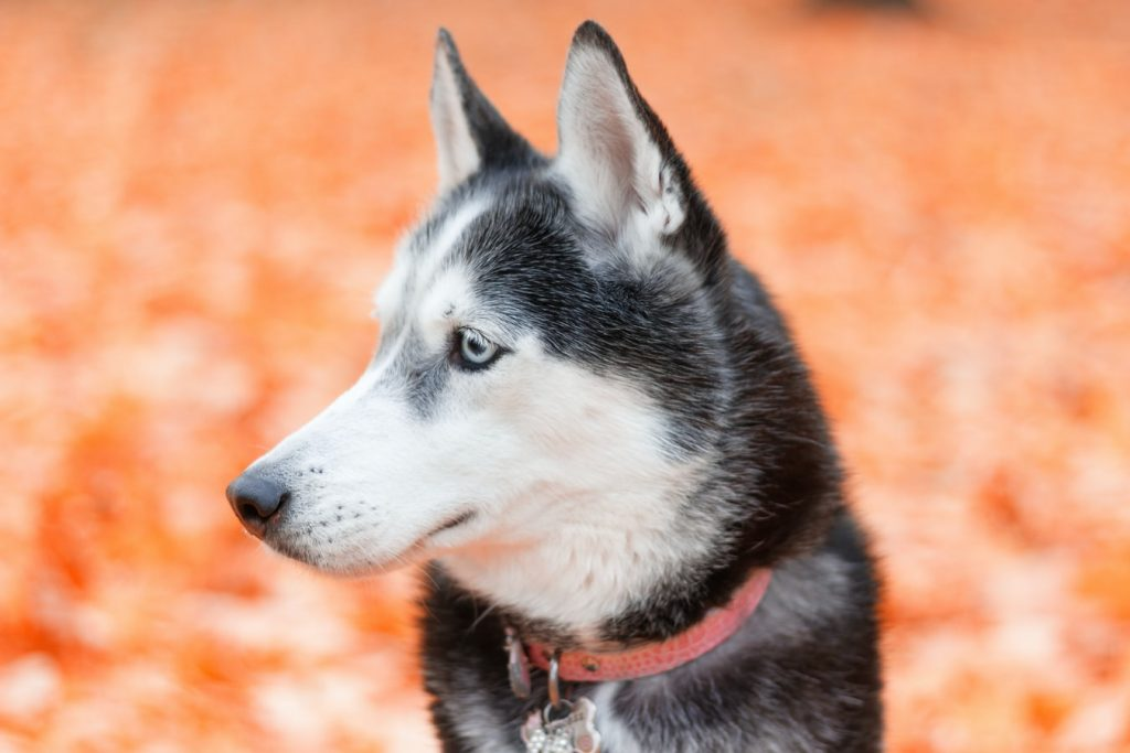 Husky Blowing Coat Tips