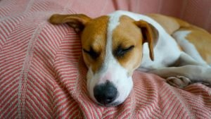 How To Comfort Dog After Spaying