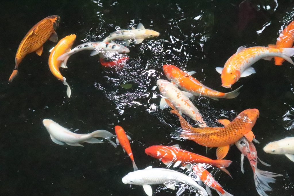 Can You Swim In A Koi Pond