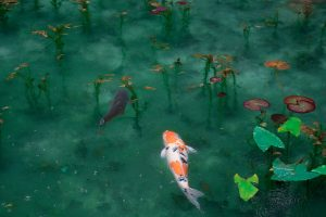 How To Save Koi Fish From Dying