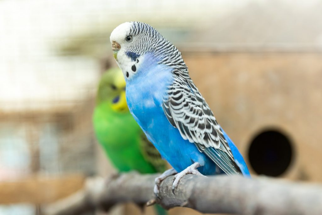 Why Does Budgie Have Weak Grip