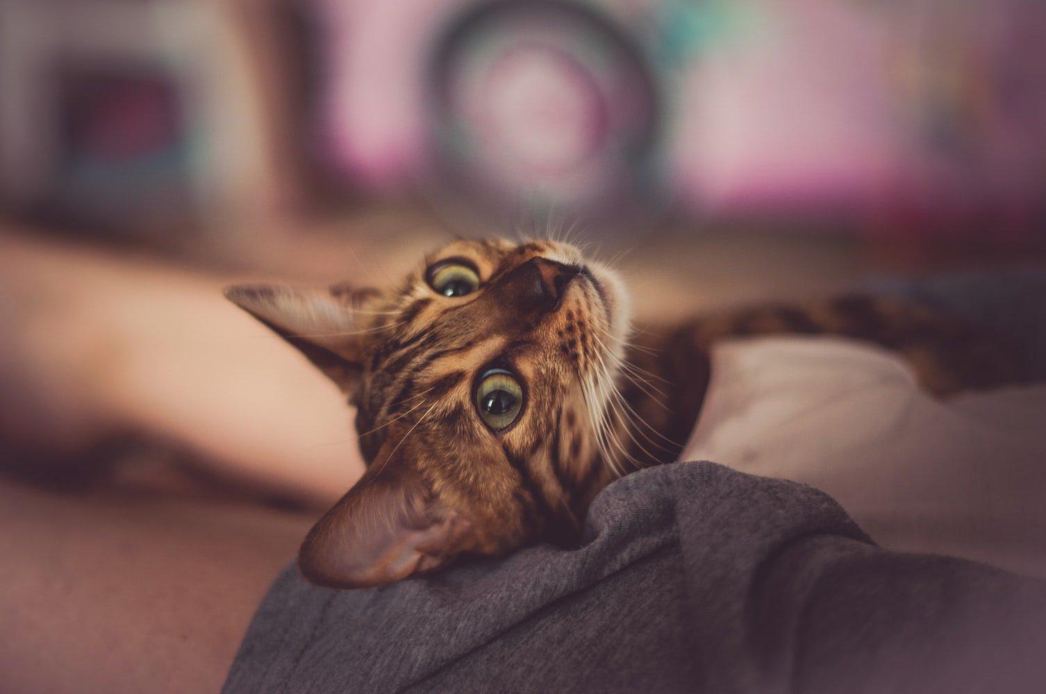 Cat Not Sleeping After Dental Surgery