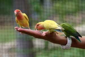 Taming A Scared Lovebird