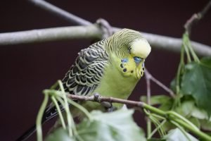 Can A Budgie Survive With A Broken Leg