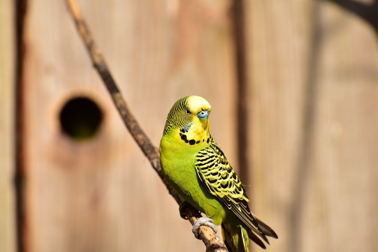 budgie screeching and flapping wings
