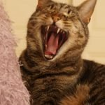 Why Do Cat Fangs Stick Out? (And How To Help!)