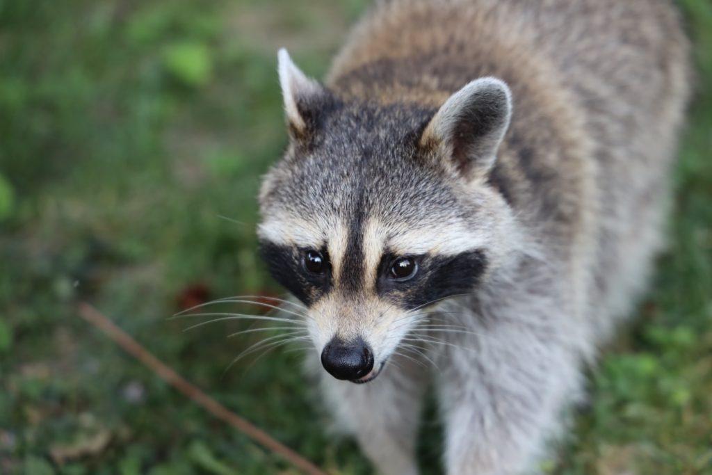 My Dog Fought A Raccoon