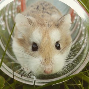 Hamster Peeing In Ball