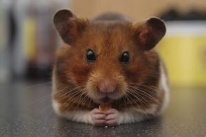 How Do Hamsters Know To Run On The Wheel