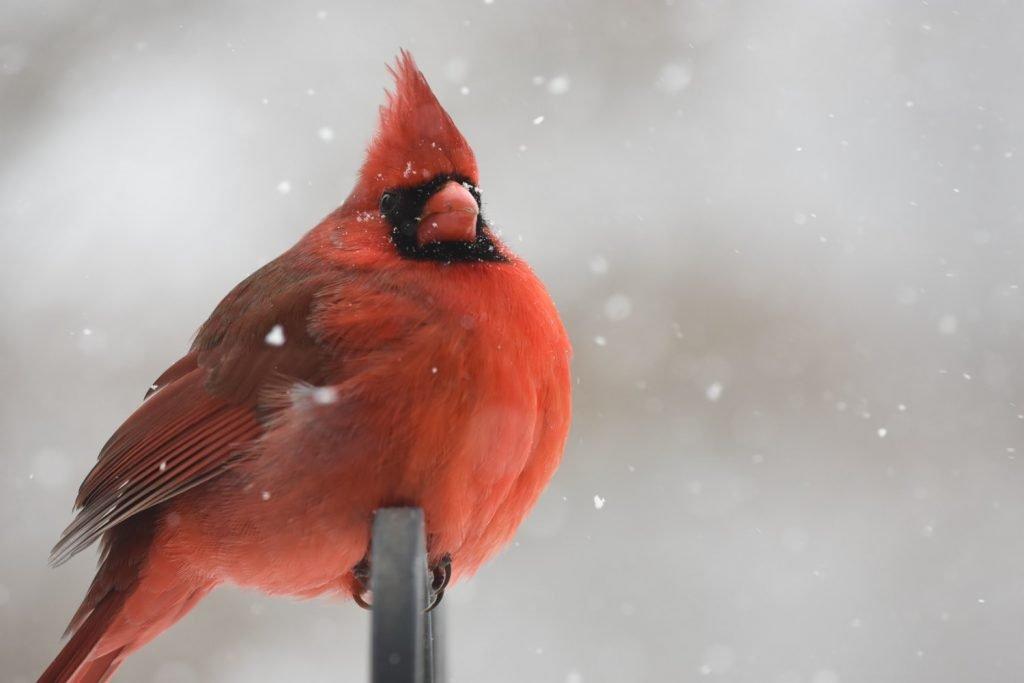 Where Do Cardinals Sleep At Night