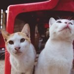 Can A Neutered Cat Live With An Unneutered Cat?