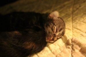 Is Calandiva Poisonous To Cats